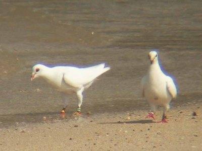 白い鳩2羽飛来 平和の使者