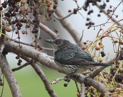 迷鳥ミドリカラスモドキの幼鳥が飛来