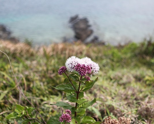 シマフジバカマ開花