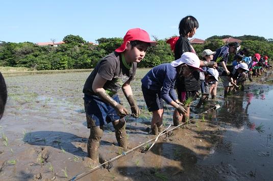 川平小中学校が田植え体験学習