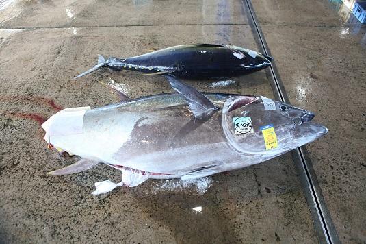 クロマグロ漁ピーク