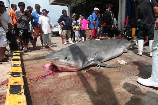 サメ駆除で480キロ