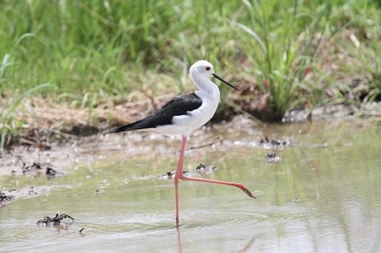 水辺のバレリーナ セイタカシギ飛来