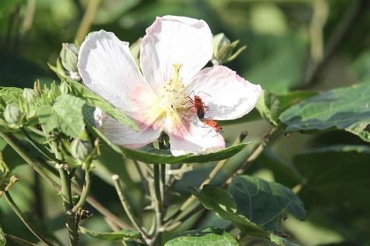 サキシマフヨウ開花