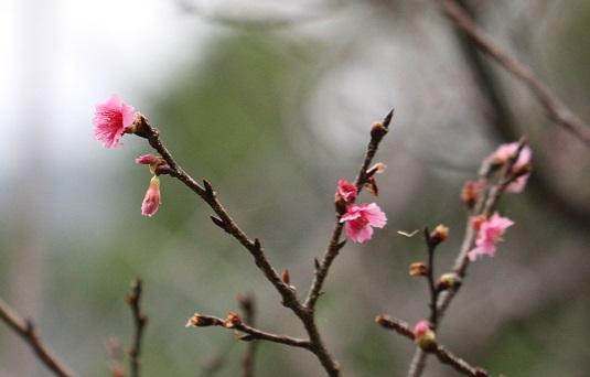 カンヒザクラ開花