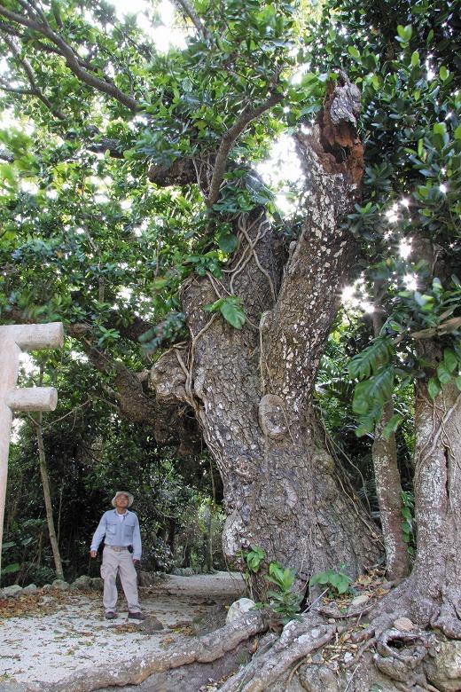 巨樹・巨木との遭遇(18)テリハボク